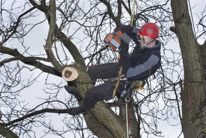 Crown reduction of a tree by skilled tree surgeon
